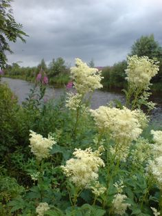 Mesiangervo --filipendula ulmaria, flowers can be used for herbal tea Forest Flowers, White Flowers, Picking Wild Flowers, Backyard Trees, Champs, Rain Garden, Flower Images, Medicinal Plants, Botany