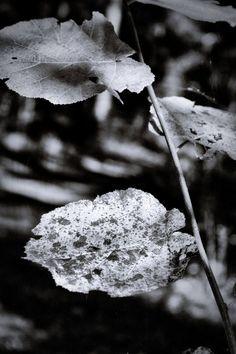 bwstock.photography  //  #hazel #twig Black White Photos, Black And White, Free Black, Dandelion, Nature, Flowers, Plants, Photography, Color