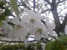 Kirschblüten aus unserem Garten.