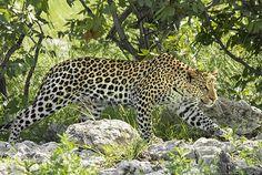CAnadauenCE tv: Em safári fotográfico, encontrar leopardos em seu ...