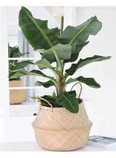 Op HomeDeco vind je de beste prijs voor een Bananenplant (Musa) en nog veel meer… At HomeDeco you will find the best price for a Banana plant (Musa) and many more house plants. Now on sale at for! Indoor Garden, Indoor Plants, Home And Garden, Herb Garden, Home Deco, Plantas Indoor, Banana Plants, Banana Plant Indoor, Interior Plants