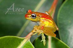 Madagaskarfrosch