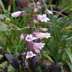 Penstemon Dark Towers is a hardy evergreen perennial plant with purple red leaves and pinkish white flowers in summer and autumn suitable for sun or semi-shade. Lavender Flowers, White Flowers, Nursery Set Up, Hummingbird Garden, Cottage Garden Plants, Organic Matter, Plant Nursery, Planting Flowers, Flowering Plants