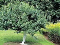la distance de plantation entre les arbres fruitier en demi tiges jardin potager pinterest. Black Bedroom Furniture Sets. Home Design Ideas