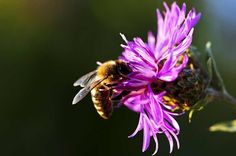 Bee's attracted to the wildflowers will naturally pollinate nearby crops.