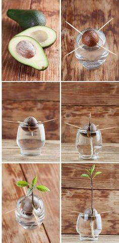 A step-by-step instructional guide with photos, which shows you how to grow an avocado tree: