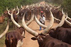 Herder with his Ankole-Watusi Cattle in Uganda by Wolfgang Woerndl