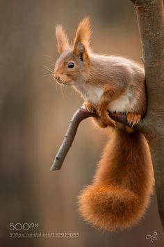 Kaweechelchen - Pinned by Mak Khalaf little squirrel Animals 1DXEcureuilEichhörnchenGaalgebiergLuxembourgNaturSquirrelKaweechelchenKaweechelcheresch-sur-Alzette by escherbierger