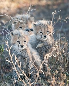 Cheetah cubs (by Billy Dodson)
