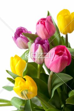 fresh tulips isolated on white - Close-up shot of pink and yellow tulip flowers isolated on white background