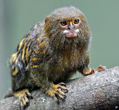 The pygmy marmoset is the world's smallest monkey! This cute critter is native to rainforests of the western Amazon Basin in South America. Photo: Getty Images UK