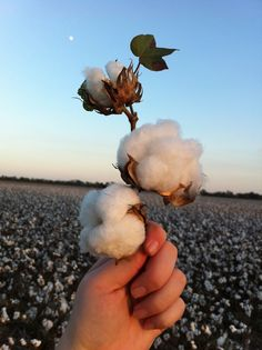 Ahhh... cotton. #OurSouth