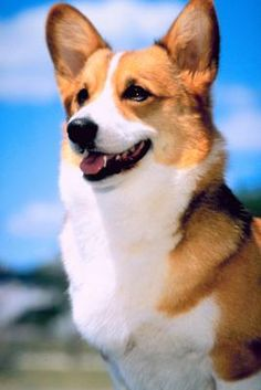 Corgis have a lot to say. While you may find the individual corgi who is quieter, as a whole, corgis are known for being vocal. The good news is, corgis love to learn and with proper obedience training, you can manage your corgi's barking behavior.