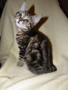 "kurilian Bobtail ""lensi"" Kittens And Puppies, Cats And Kittens, Bobtail Cat, Adorable Kittens, Beautiful Cats, Tigers, Photographs, Animals, Pretty Cats"
