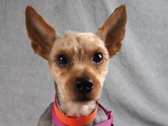 Adopt Scotty, a lovely 1 year 4 months Dog available for adoption at Petango.com. Scotty is a Terrier, Yorkshire and is available at the National Mill Dog Rescue in Colorado Springs, Co. www.milldogrescue.org #adoptdontshop #puppymilldog #rescue #adoptyourfriendtoday