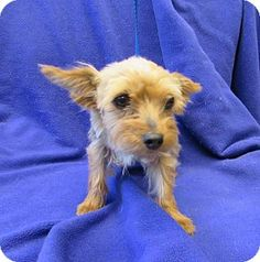 Corona, CA - Yorkie, Yorkshire Terrier. Meet Kennel 8 Diva, a dog for adoption. http://www.adoptapet.com/pet/13534024-corona-california-yorkie-yorkshire-terrier