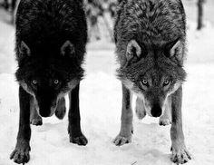 Stop killing Wolves! : Photo