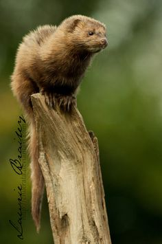 This is Mindy, the female Mink at the British Wildlife Center - UK