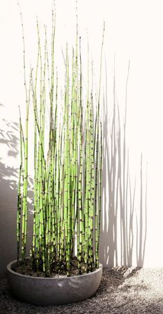 planter des bambous, petit pot de fleur avec bambous plantés