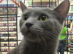 Russian Blue Mama is an adoptable Russian Blue Cat in New York, NY. What a gorgeous perfect Russian Blue female cat - about 10 months We rescued her and her 3 kittens - She is beautiful, sweet, tame a... @nicholas becerra
