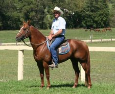 Silverthorn Australian Stock Horses - We Have The Breed For Your Needs