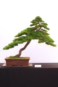 JPB:Bonsai Collection4  |26 Dwarf Japanese garden juniper