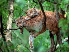 Lynx in Bavarian Forest National Park.  -KWA