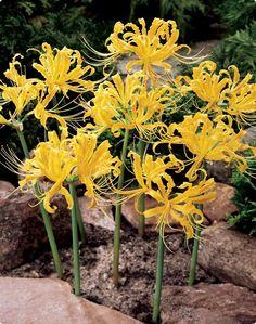 #Golden Spider Lily: Pflanzung:  Die Zwiebeln der #Zauberlilie werden direkt nach Erhalt in Töpfe oder Kübel mit guter, nährstoffreicher Blumenerde gepflanzt. Dabei sollte die Zwiebelspitze noch aus der Erde ragen. Nur wenig gießen und an einem hellen, warmen Platz antreiben. Ab Mai, wenn keine Frostgefahr mehr besteht, kann man den Topf auch nach draußen stellen.  Ansprüche:  Im Zimmer einen hellen, nicht den ganzen Tag in voller Sonne liegender Platz auswählen.