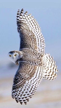Superb Nature - fyowls: Wings Wide Open Snowy Owl by Rob McKay. Beautiful Owl, Animals Beautiful, Cute Animals, Arctic Animals, Majestic Animals, Beautiful Patterns, Funny Animals, Exotic Birds, Colorful Birds