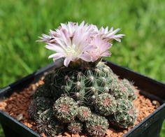 Gymnocalycium bruchii v. brigittae