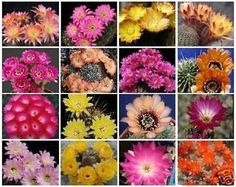Lobivia variety MIX  exotic color flowering cacti rare cactus seed 100 SEEDS *** Read more  at the image link.