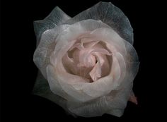 London-based photographer Alexander James of Distil Ennui Studio created this wonderful series of photographs of roses deprived of their colors. Through a complex process, it removes the pigment of hair petals leaving only the fiber skeletal structure of the plant.