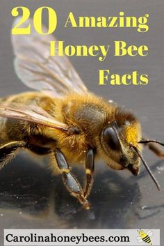Amazing Honey Bee Facts that you want to know. So many wonderful things to learn about honey bees. Fun for the new beekeeper or any bee lover. Honey Bee Facts, Facts About Honey Bees, Bee Hive Plans, Beekeeping For Beginners, Worker Bee, Bee Supplies, Raising Bees, Backyard Beekeeping, Bee Friendly