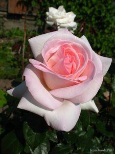 ~Hybrid Tea rose 'Prince Jardinier', Meilland France,2009. David Austin roses & other (scented) garden roses available @ www.parfumflowercompany.com