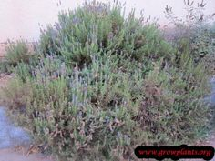 Lavender plant - How to grow & care Lavender Leaves, Growing Lavender, Season Colors, Garden, Plants, Garten, Gardens, Planters, Tuin