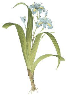 La Bande des Faineantes: Vintage Printable - Iris or Iris