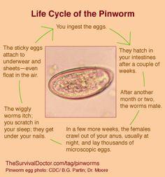 treatment of oxyuris worm)