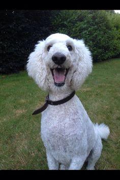 'Cause i'm happy.. Bark along if you feel like.. Happy poodle