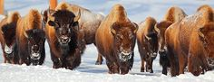 images of buffalo herds | Buffalo Herd by ICanonit (Photo) | Weather Underground