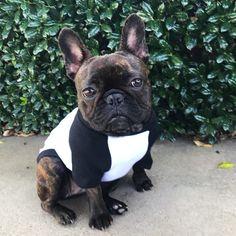 French Bulldog, Frenchie