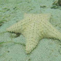 Etoile de mer #starfish #martinique