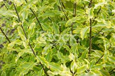 Pittosporum Tenuifolium is a small evergreen tree native to New. Evergreen Trees, Close Up Photos, Abstract Photos, Native Plants, Image Now, Flora, Royalty Free Stock Photos, Herbs, Photography
