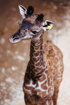 New baby giraffe at the Cleveland Zoo! ♥   The female calf is 6 feet tall and weighs 123 pounds. (Source: Cleveland Metroparks Zoo)