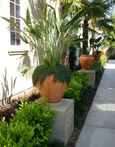 Strelitzia Urn Pads ~ place an elevated urn between the shrubs; this would be beautiful along the garage side of house.