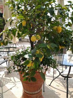 Limão siciliano em vaso