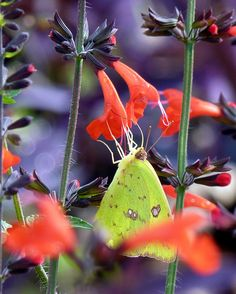 Butterflies love salvia! Cloudless sulphur on Salvia coccinea, via Tales from the Butterfly Garden