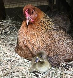 Surrogate Hen Hatching Eggs
