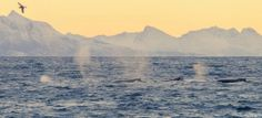 Winter in Norway: From Fiskenes, Andøya island. Killer whales swimming outside, not far away from land.