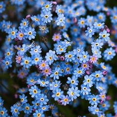forget-me-nots. Just saw someone's whole backyard was covered in these. It was like a sea of blue. Wish I had had a camera on hand. Just beautiful. <3