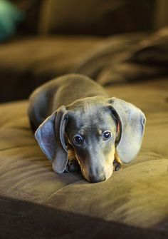 Every house needs a wiener dog! Look what I found LOL One of our past pups Lily here on pinterest - such a pretty girl. Getalonglittledoxie.com